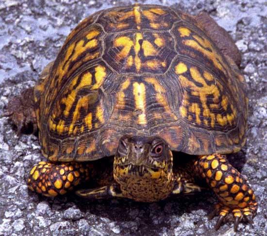 Kentucky Turtle Man