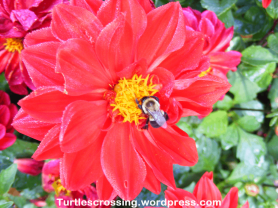 Bumble Bee (Bombus cf. bimaculatus) on Dahlia