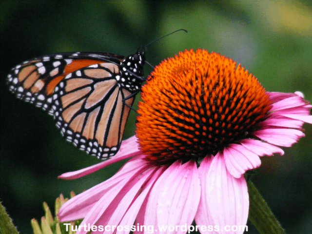 Monarch Butterfly on Echinacea spp.